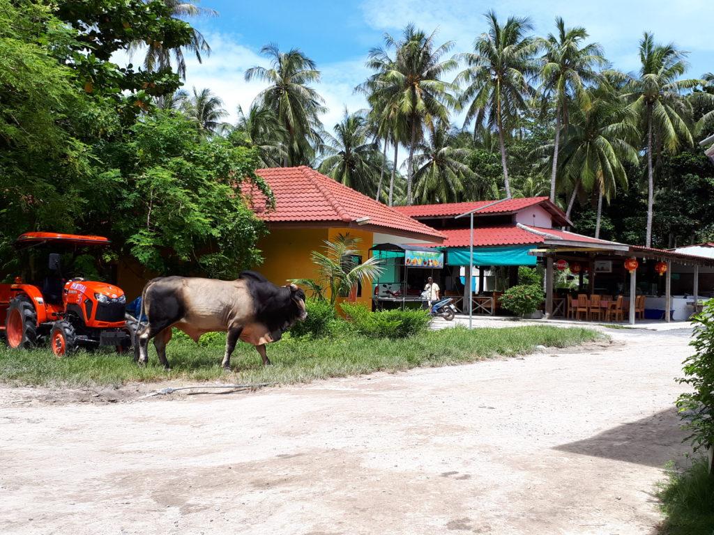 Στους εξωτικούς περιπάτους σίγουρα θα συναντήσεις κάποιον ντόπιο κτηνοτρόφο με την αγελάδα του