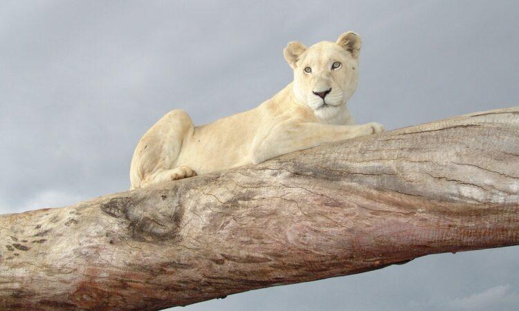 Κατοικίδιο λιοντάρι