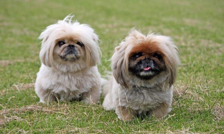 Ο γλυκός Γουασάμπι κέρδισε στο Westminster Dog Show στη Νέα Υόρκη